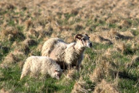 Enchanted Sheep